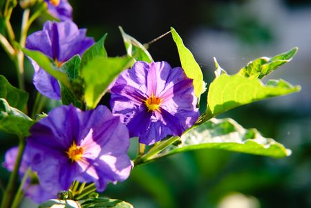 A close up of beautifull purple flowers in the sun