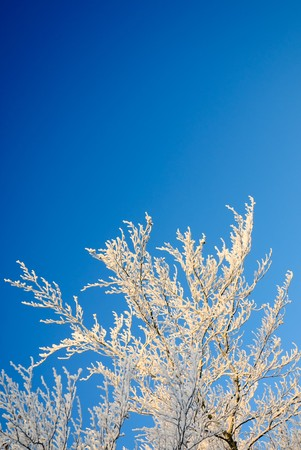Snow covered branches against blue sky winter background photo