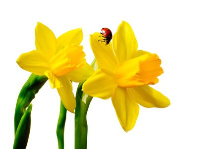 Close up of a Daffodil with a Ladybug isolated against a white background.