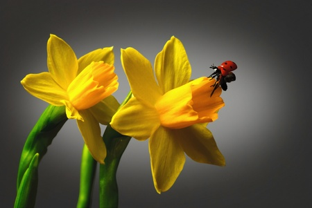 Close up of a Daffodil with a Ladybug isolated against a dark background. Stock Photo