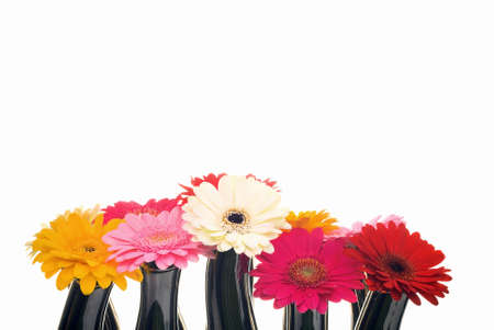 A group of Gerbera flowers against a white background.