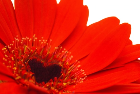 Close up of a red Gerber Daisey isolated against a white background. The centre of the flower has been transformed to a hearth shape in post processing. Stock Photo