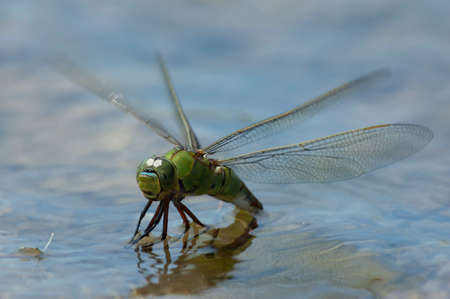 compound eyes: emperor dragonfly setting up some eggs in the water