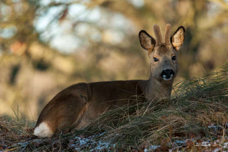 capreolus: Deer resting on a winter morning in the wild