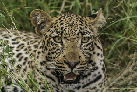 wildcats: The eyes of leopards are incredibly captivating and mesmerizing