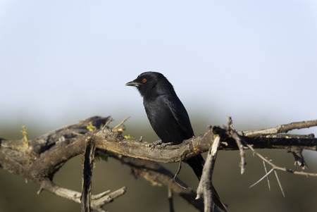 game drive: Forked tail drongos will often follow larger mammals as the move through the bush snatching up any of the insects that are disturbed
