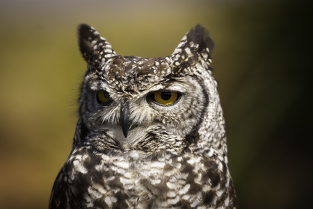 game drive: Eagle owl displaying ear tufts Stock Photo