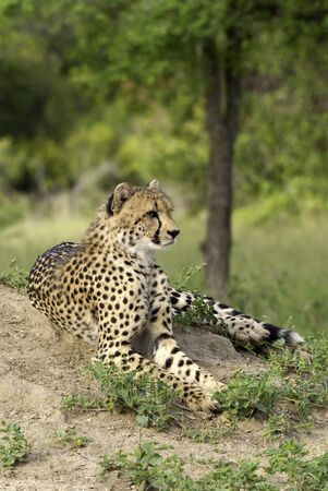 safari game drive: Cheetah Lazing on a termite mound