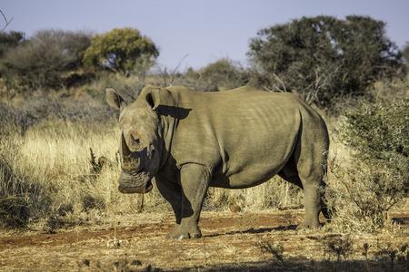 big 5: White rhino Stock Photo