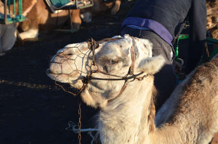lanzarote: Camel on Lanzarote Stock Photo