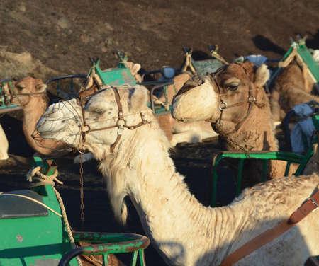lanzarote: Camels in Lanzarote