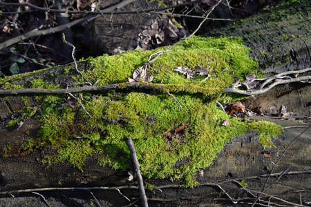 baden wurttemberg: moss on ancient trees