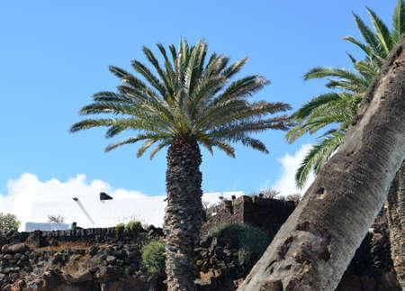 lanzarote: Palm tree on Lanzarote Stock Photo