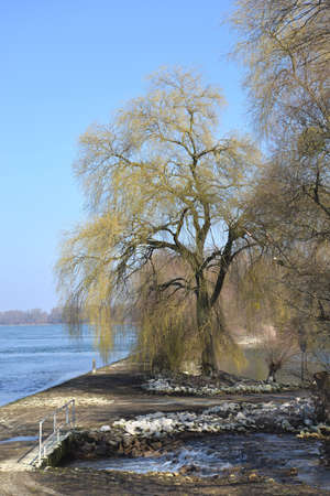 weeping willow: Rhine with weeping willow in Karlsruhe Stock Photo