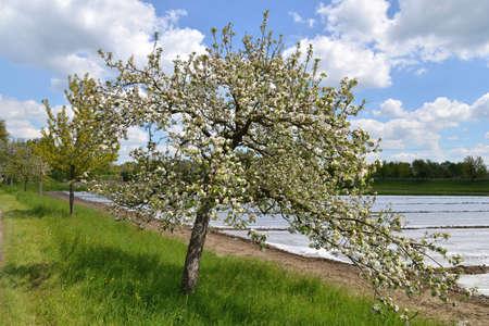 karlsruhe: Blooming apple tree in Karlsruhe