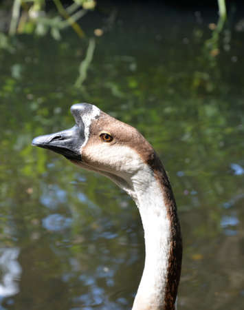 cusp: Head of a goose with hump