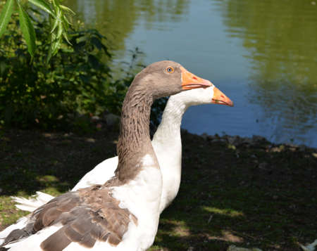 cusp: Two geese white and beige