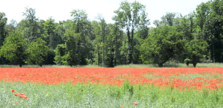 agribusiness: Field with red poppies
