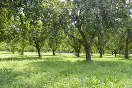 rhine: fruit trees on the rhine