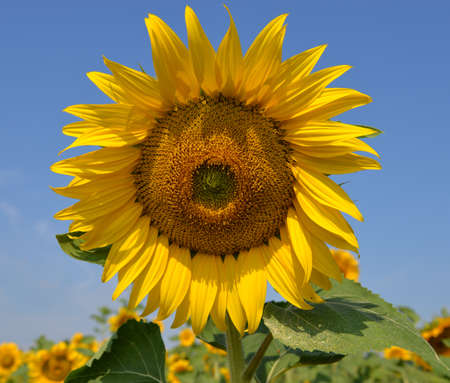 agribusiness: Sunflower against blue sky