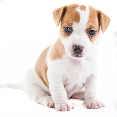 jack terrier: Jack Russel puppy sitting on isolated white background Stock Photo