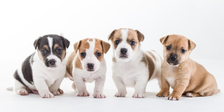 jack russel: Four young Jack Russel pups on a row isolated