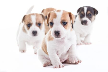 jack up: Four Jack Russel Pupies isolated blurred Stock Photo