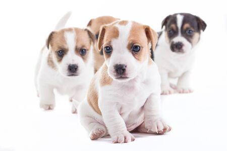 cani che giocano: Quattro Jack Russel Pupies isolato offuscata