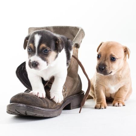 perros jugando: Dos cachorros Jack Russel en el zapato sobre fondo blanco