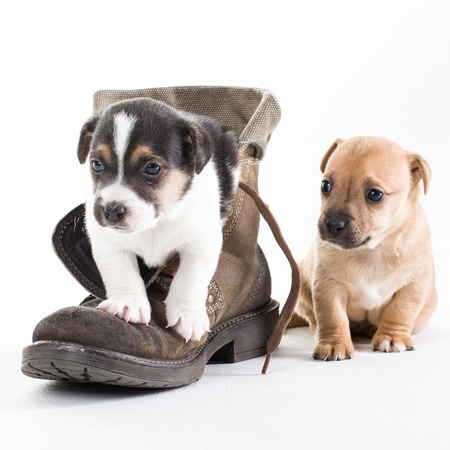 Two Jack Russel puppies in shoe on isolated background photo