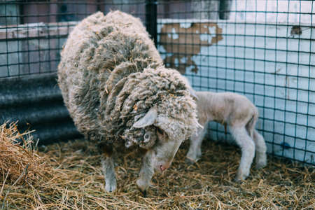 sheep just given birth licking newborn baby lambs in spring Archivio Fotografico