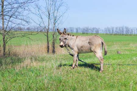 Grey donkey in field, green grass, spring