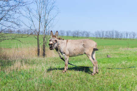 Grey donkey in field, green grass, spring