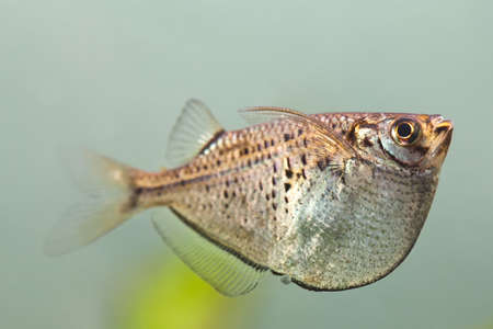 Aquarium fish. Gasteropelecus sternicla. Fresh tank. Macro view photo