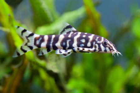freshwater clown fish: school of aquarium fish Stock Photo