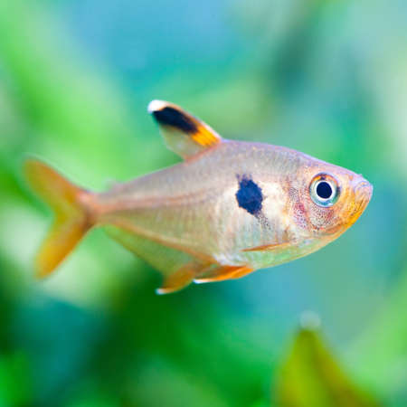 tetra fish: Aquarium fish. Rosy Tetra. Nature tank. Freshwater tank. A green beautiful planted freshwater aquarium with Tetra fishes. (macro, soft focus).