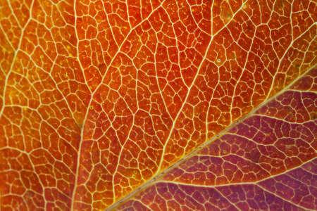 Primer plano de la hoja del otoño. Macro. Vision. Hoja de Aspen. Textura del árbol de hoja. Enfoque suave. Foto de archivo - 35775204