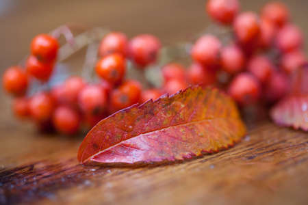 approximation: Wet fruit and leaves of a mountain ash (rowan) on a wooden table. Blur. Very soft focus!