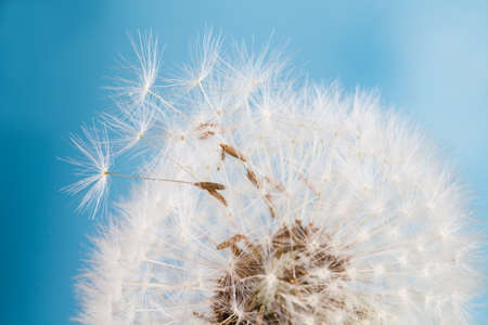 Dandelion. Blue background. Macro view. photo