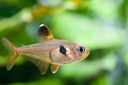 anubias: Peces de acuario. Rosy Tetra. Tanque de la Naturaleza. Tanque de agua dulce. Un hermoso acuario plantado verde de agua dulce con peces Tetra. (Macro, enfoque suave).