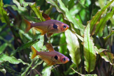 Aquarium fish. Rosy Tetra. Nature tank. Freshwater tank. A green beautiful planted freshwater aquarium with Tetra fishes. (macro, soft focus). photo