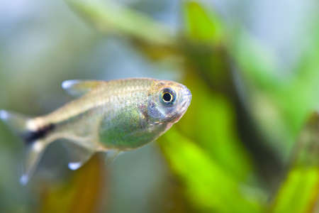 tetra fish: Aquarium fish. Silver Tipped Tetra. Stock Photo
