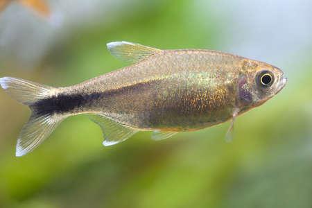 tetra fish: Aquarium fish. Silver Tipped Tetra. Stock Photo