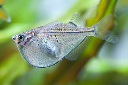 tetra fish: Aquarium fish. Gasteropelecus sternicla. Fresh tank.