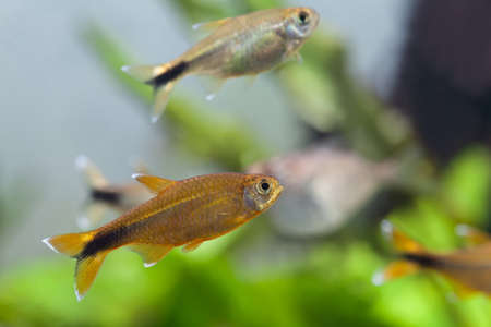 anubias: Aquarium fish. Silver Tipped Tetra. Tank. Freshwater. Stock Photo