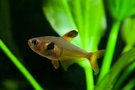 anubias: Aquarium fish. Rosy Tetra. Nature tank. Freshwater tank. A green beautiful planted freshwater aquarium with Tetra fishes. (macro, soft focus).