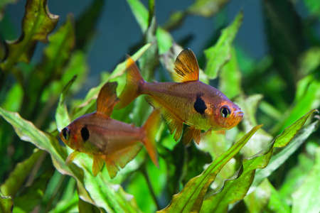 tetra fish: Aquarium fish. Rosy Tetra. Nature tank. Freshwater tank. A green beautiful planted freshwater aquarium with Tetra fishes. (macro, soft focus).