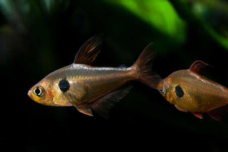 Aquarium fish. Rosy Tetra. Nature tank. Freshwater tank. Aquarium with tetra fishes. dark background (macro, soft focus). photo