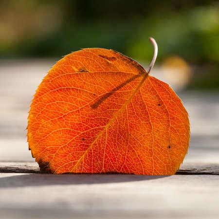 aspen leaf: Autumn leaf in the sunlight. Aspen leaf. Close-up, texture and silhouette. Soft focus.