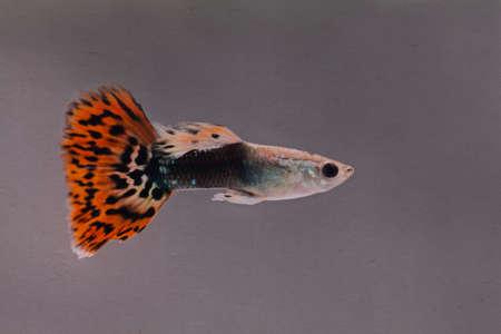 poecilia reticulata: Colorful fish guppy. vintage paper background. macro view, soft focus, blurry